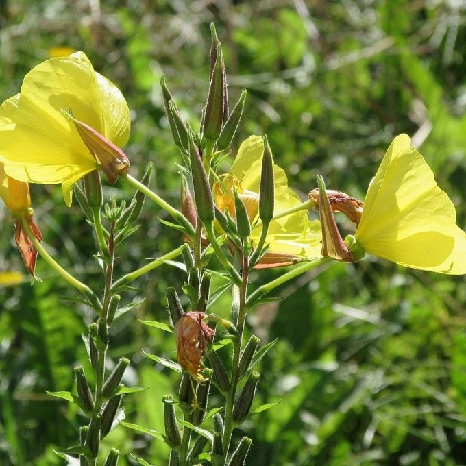 teunisbloem wilde planten